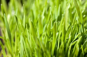 Tarwegras of wheatgrass
