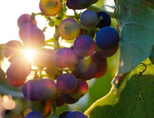 De Negroamaro wijndruif, een lekker druifje