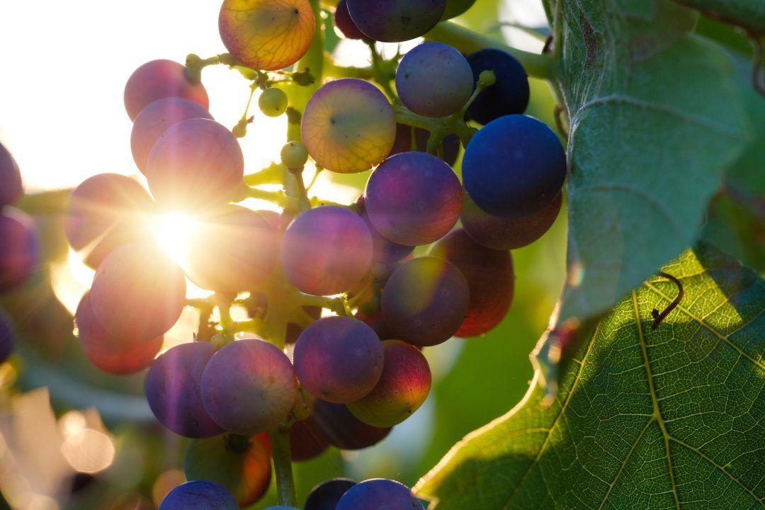 wijndruiven-zon
